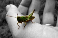 grasshopper inhand